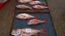 2020/3/31  本日の赤ムツ釣りコース、ヒラメ釣りコース、ふぐ釣りコースお休みです。